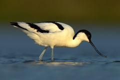 Black and white wader bird Pied Avocet, Recurvirostra avosetta, in blue water, Texel, Holland. Black and white wader bird Pied Avocet Royalty Free Stock Photography