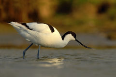 Black and white wader bird Pied Avocet, Recurvirostra avosetta, in water, Texel, Holland Royalty Free Stock Photography