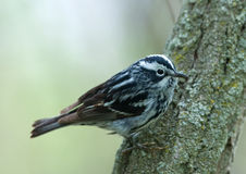 Black-and-white Warbler Stock Images