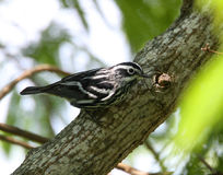 Black and White Warbler Stock Images