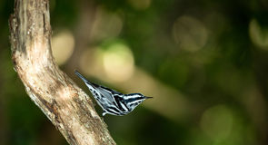 Black-and-white Warbler on Branch Stock Photo