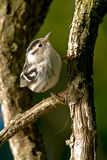 Black-and-white Warbler Royalty Free Stock Photo