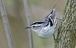 Black and White Warbler royalty free stock photo