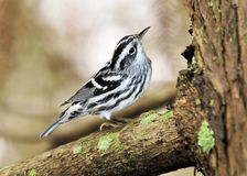 Black and White Warbler Stock Photo