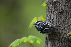 Black-and-white Warbler (Mniotilta varia). Male Spring migrant on a tree trunk Stock Photo