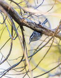 Black and White Warbler Royalty Free Stock Image