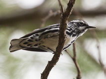 Black and White Warbler Stock Photos