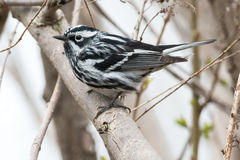 Black-and-white Warbler Royalty Free Stock Photos