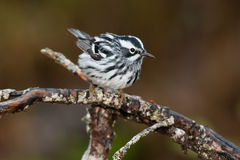 Black-and-white Warbler. Perched on a branch stock photo