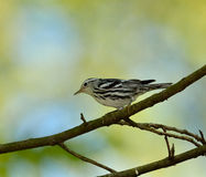 Black and White Warbler Royalty Free Stock Photos