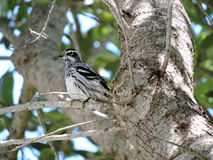 Black and White Warbler Perching on Branch Royalty Free Stock Photography
