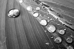 Black and white water drops on leaf. Stock Photography