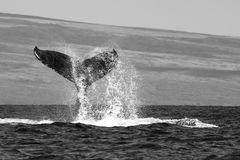 Black and White Whale Tail with Spray in Ocean with Island Beyond. Black and white close up whale tail dripping water preparing to slap the ocean surface in royalty free stock images