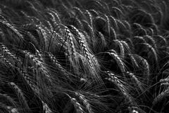 Black and White Wheat Field Stock Image