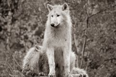 Black and white White Arctic wolf Canis lupus arctosportrait has beautiful golde stock photography