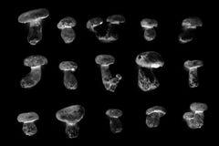 Black and white wild bolete mushrooms Royalty Free Stock Photos
