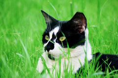 Black and White wild cat. This shot was taken in Riyadh, Saudi Arabia Royalty Free Stock Photos