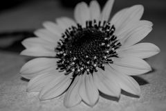 Black and white wild flower Stock Photos
