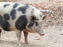 Black and white wild pig Royalty Free Stock Photo