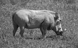 Black and white wild pig Royalty Free Stock Image