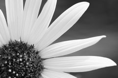 Black and white wildflower closeup Stock Photography