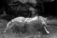 Black and white Wildlife of white tiger on rock in the zoo. Black and white Wildlife of white tiger in the zoo at Thailand royalty free stock photography
