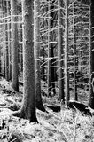 Black and white winter trees. Black and white winter frost landscape with coniferous trees stock photos