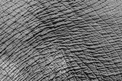Black and white wrinkled skin texture of an Asian elephant Royalty Free Stock Photography