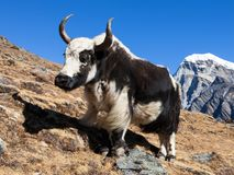 Black and white Yak Stock Images