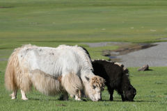 Black and white yaks Royalty Free Stock Photos
