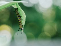 Black White and Yellow Caterpillar on Leaf Stock Images