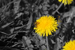 Black white yellow flower on meadow royalty free stock images