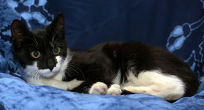 Black and white young cat Stock Photography