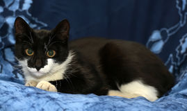 Black and white young cat Royalty Free Stock Photo