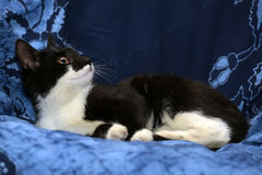 Black and white young cat Stock Photos