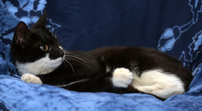 Black and white young cat Stock Image