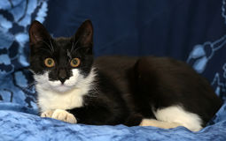 Black and white young cat Stock Images