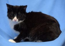 Black with white young cat on a blue stock photo