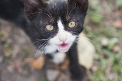 Black and white young cat Royalty Free Stock Image