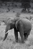 Black and white of a Young male elephant. Black and white photo of young male elephant. Tarangire National Park, Tanzania stock photo