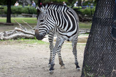 Black and white zebra Royalty Free Stock Photo