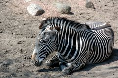 Black White Zebra Stock Images