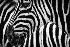 Black and White Zebra Stock Photo