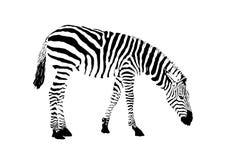 Black and white zebra,  animal vector. Illustration Royalty Free Stock Photos