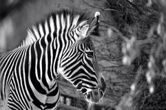 Black and white zebra at Calgary zoo Stock Image