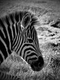 Black & White Zebra Royalty Free Stock Photo