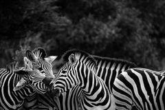 Black and White Zebra Herd. A small herd of Zebras communicating with each other Royalty Free Stock Photos