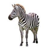 Black and white zebra. Isolated on white Stock Image