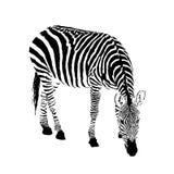 Black and white zebra, isolated animal vector illustration. Black and white zebra, isolated animal vector, illustration Stock Image
