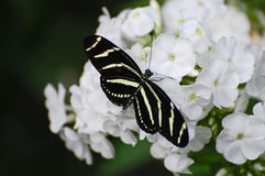 Black and white Zebra Longwing butterfly on white blossoms Stock Photography